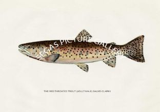 Red Throated Trout (Adult Male) Salmo-Clarkii